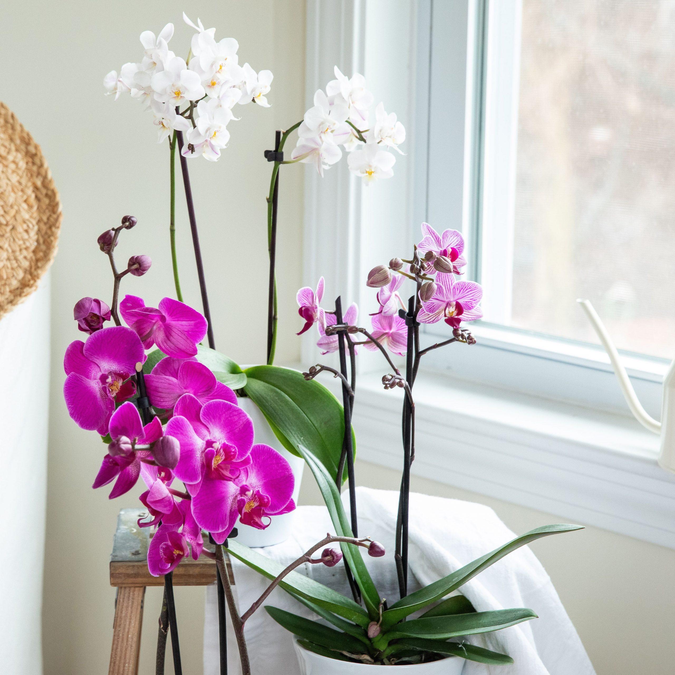 Bật mí cách chăm Lan Hồ Điệp ra hoa rực rỡ